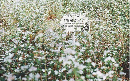 Vườn-Hoa-Tam-Giác-Mạch-Đà-Lạt-6