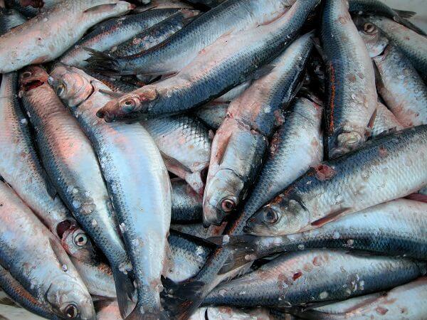 Cá trích Phú Quốc