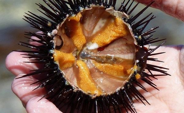 Đừng quên thử nhum biển khi đến Nha Trang